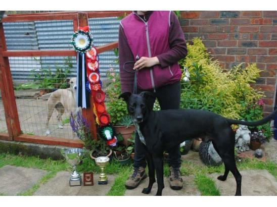 tjay aka perfections dark prince champion lurcher and a champion friend and worker