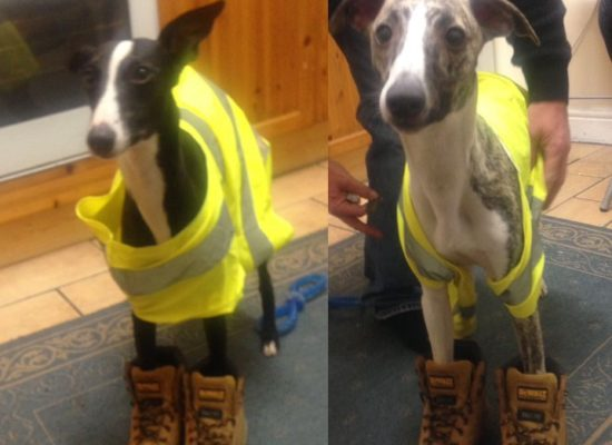 Working whippets