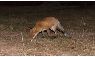 Fox Shooting